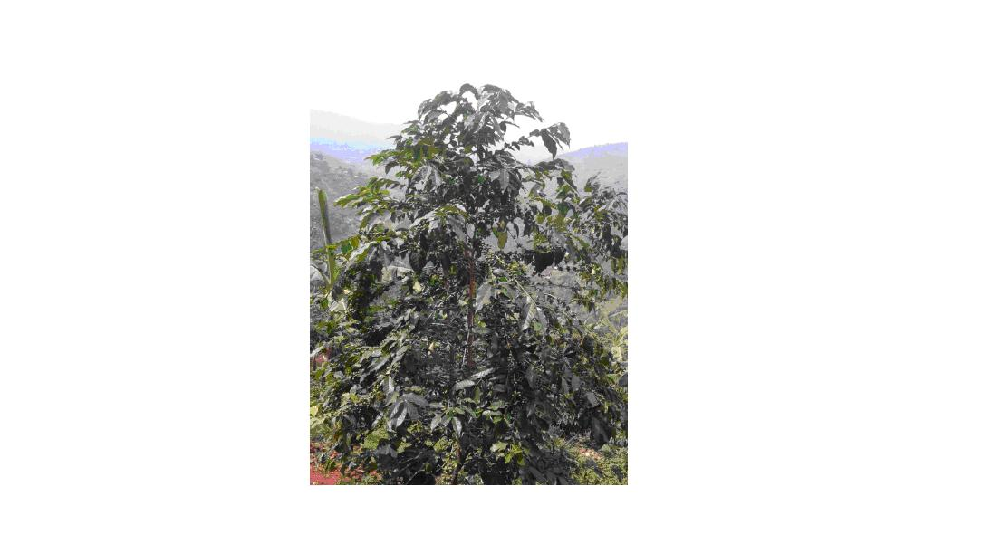 Arabica tree in the Rwenzoris, Uganda